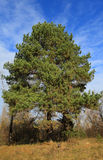 Large coniferous tree Royalty Free Stock Photo
