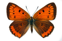 Large Copper (Lycaena dispar) Royalty Free Stock Photo