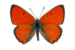 Large Copper (Lycaena dispar) Royalty Free Stock Image