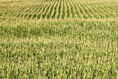 Large Corn Field Royalty Free Stock Images