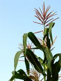Large Corn Plant. At the apex of the stem you can see the male flower Stock Photo