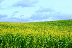 Large cornfield Stock Photos