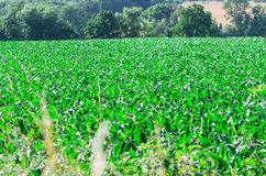 Large cornfield Royalty Free Stock Image