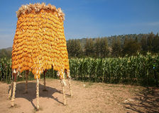 Large corns at Jim Thomson farm in Korat, Thailand Stock Image