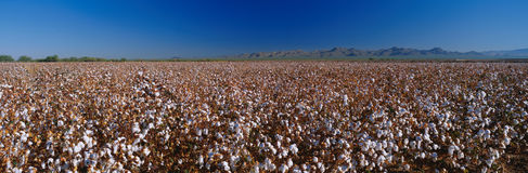 Large cotton field. This is a large cotton field. There are rows and rows of cotton plants almost ready to be harvested Stock Photos