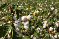 Large cotton field Royalty Free Stock Image