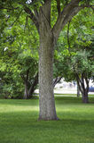 Large Cottonwood shade tree in a city park Royalty Free Stock Photos
