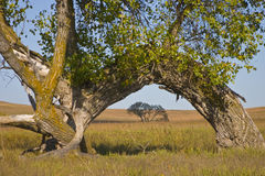 Large Cottonwood Tree Arch at Kansas Tallgrass Prairie Preserve Stock Photo