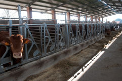 Large cow farm Stock Images