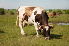 Large cow is grazing in the meadow Royalty Free Stock Photos