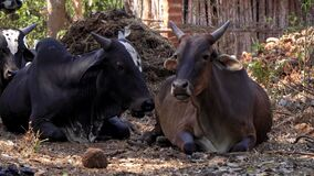 Large cows lie on the ground on the farm and chew their food