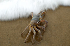 Large crab walking on the beach Stock Images