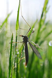 Large Crane Fly. Tipula maxima  in grass Stock Photos