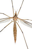 Large Cranefly Stock Photo