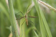 Large cranefly portrait. Large cranefly full body portrait stock photography