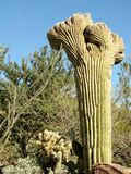 Large Crested (Cristate) Saguaro cactus Royalty Free Stock Photo