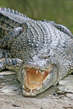Large Crocodile Royalty Free Stock Images