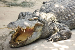 Large crocodile basking in the sun with open mouth close-up Stock Photography