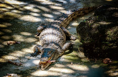 Large crocodile with chicken in his mouth in Murchison falls,Uga Royalty Free Stock Images