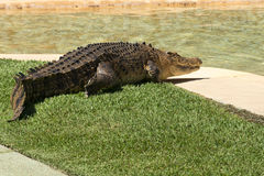 Large Crocodile. Royalty Free Stock Photos