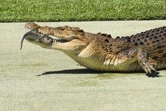 Large Crocodile. Royalty Free Stock Photo