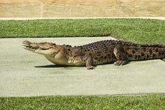 Large Crocodile. Royalty Free Stock Photography