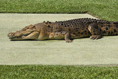 Large Crocodile. Stock Photography
