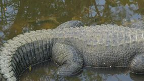 Panning shot of an alligator laying in the swamps stock footage