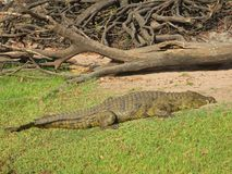 Crocodile Lounging In The Sun Royalty Free Stock Photo