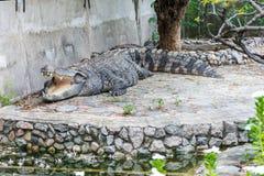 A Large Crocodile Lying Stock Photos