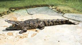 A Large Crocodile Lying Stock Image
