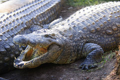 Large Crocodile with open mouth Stock Images