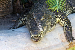 Large crocodile on the prowl. A large crocodile on the prowl Royalty Free Stock Images