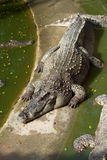 Large crocodile resting in the sun Stock Photography
