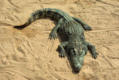 Large crocodile resting in the sun Royalty Free Stock Images
