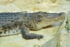 Large crocodile. Large crocodile terrible shape.Large crocodile terrible shape.Large crocodile terrible shape Royalty Free Stock Image