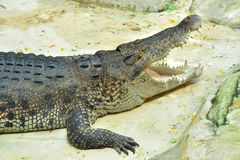 Large crocodile. Royalty Free Stock Image