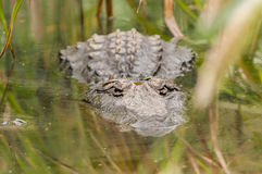 Large crocodile waits half submerged in water for prey to arrive. A large freshwater crocodile sits completely still in a waterway while waiting for prey to Royalty Free Stock Images