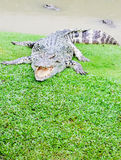 Large crocodiles Royalty Free Stock Photography