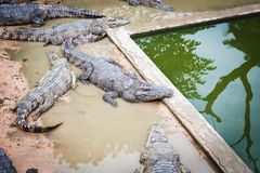Large crocodiles in Cambodia. Large crocodiles in the zoo of Cambodia Royalty Free Stock Image
