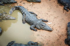 Large crocodiles in Cambodia. Large crocodiles in the zoo of Cambodia Royalty Free Stock Photo