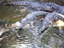 Large crocodiles live in the farm. stock footage