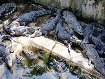 Large crocodiles live in the farm. stock video