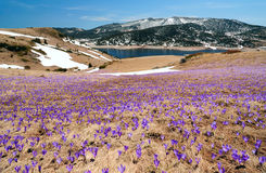Crocus meadow in spring mountains Royalty Free Stock Image