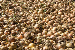 Large crop of onions Stock Photography