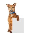 Large Crossbreed Dog Holding Blank Sign Stock Photography