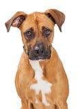 Large Crossbreed Dog Sad Expression Stock Images