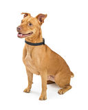 Large Crossbreed Well-Behaved Dog Royalty Free Stock Photography