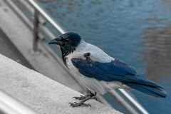 Large crow sitting on a concrete fence in a city park. stock photo