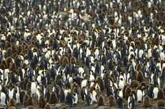 Large Crowded King Penguin Colony / Rookery. Just a part of an enormous, overcrowded colony of King penguins, showing chicks and adults. South Georgia royalty free stock images